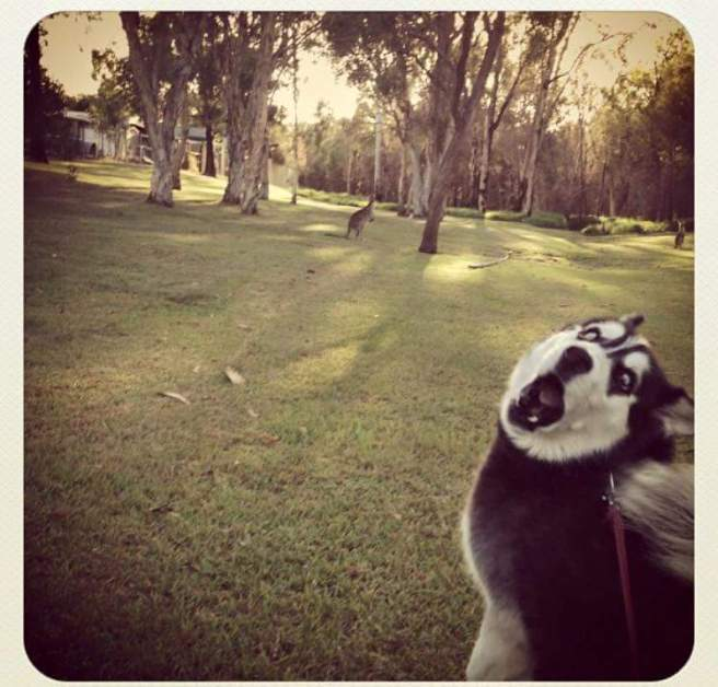 husky sees kangaroo